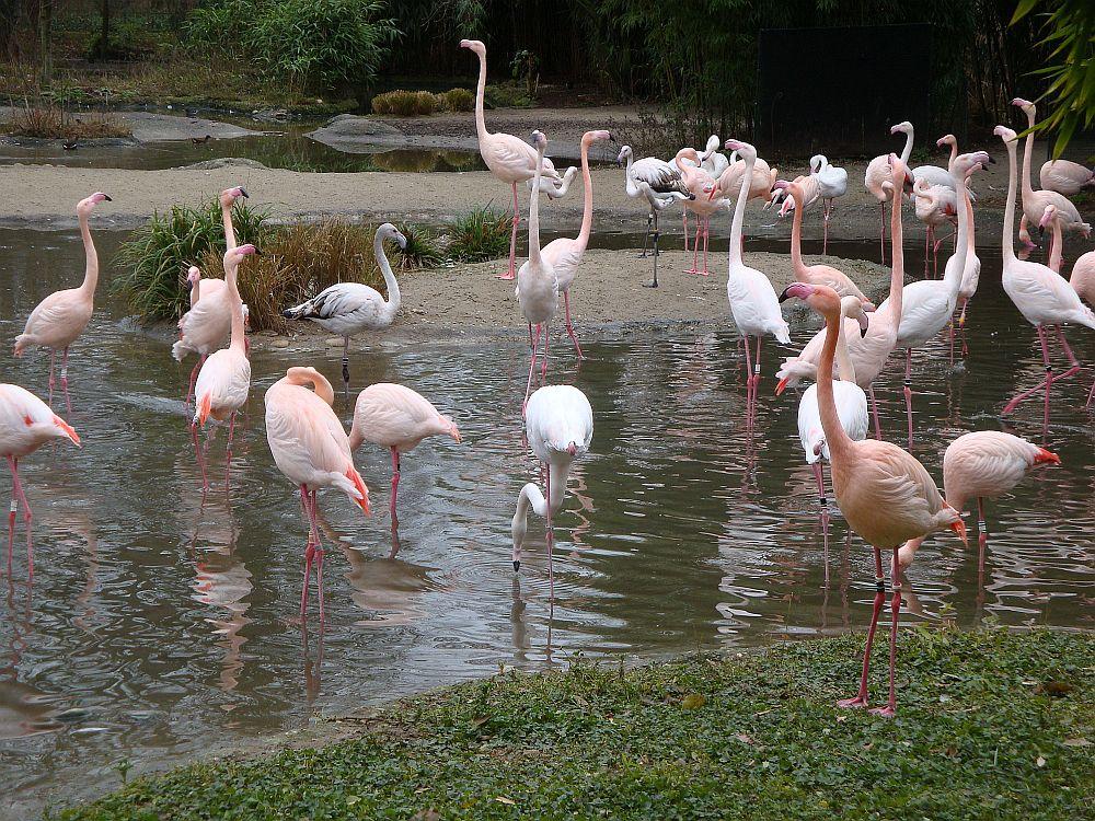 Flamingosa.jpg